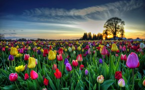 Picture the sky, leaves, clouds, sunset, flowers, tree, bright, spring, tulips, buds, Tulip field, raznocvetnye