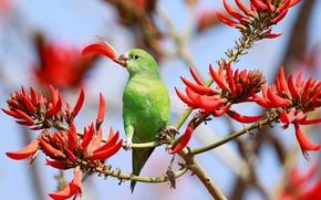 Picture flowers, parrot, DeltaCredit slender-billed parakeet, Of eritrine, bird, branches, Coral tree