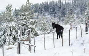 Picture winter, frost, forest, snow, nature, horse, black, horse, the fence, ate, slope, the fence, the …