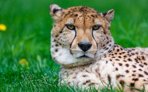 Picture summer, grass, look, face, portrait, Cheetah, lies