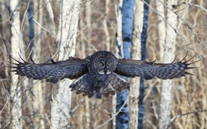 Picture forest, look, trees, flight, owl, bird, owl, wingspan