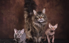 Picture cat, cat, look, cats, pose, the dark background, kitty, grey, cats, muzzle, tail, kittens, three, …