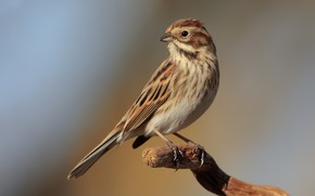 Picture bird, branch, bird, reed Bunting