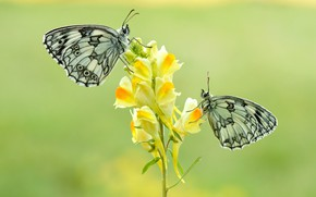 Picture macro, butterfly, flowers, insects, background, butterfly, two, yellow, pair, white, a couple, Duo, motley, snapdragons, …