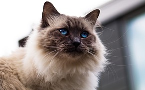 Picture cat, cat, look, face, background, portrait, blue eyes, fluffy, Siamese, color-point, ragdoll