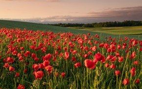 Picture flowers, field, tulips
