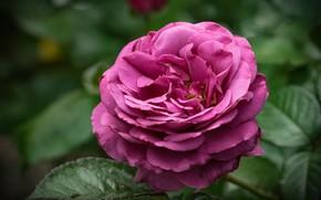 Picture macro, rose, purple