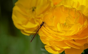 Picture macro, flowers, dragonfly, yellow, petals, insect, buttercups, Ranunculus