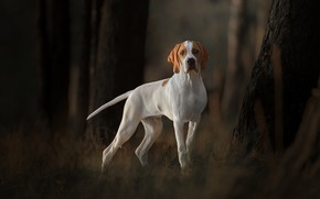 Picture trees, dog, pointer, English pointer