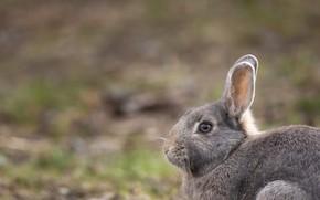 Picture grey, background, rabbit