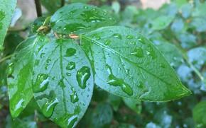 Picture greens, macro, sheet, drop, green leaves