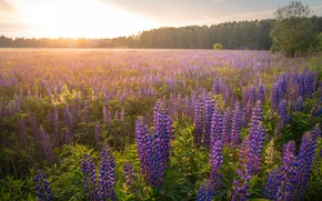 Picture field, forest, flowers, fog, dawn, morning, haze, lilac, lupins