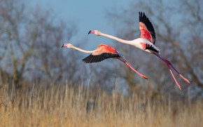 Picture field, grass, flight, birds, two, wings, pair, a couple, the rise, Flamingo, stroke, fly, the …