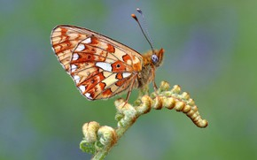 Picture macro, green, background, pattern, butterfly, plant, orange, profile, insect, leaf, wings, fern, spotted