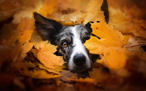 Picture dog, look, the pile of leaves, autumn, face, leaves, spotted, mood, yellow, the border collie, …