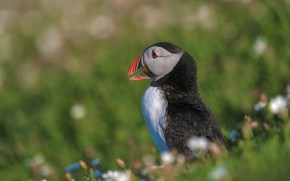 Picture summer, grass, pose, green, background, bird, blur, profile, stalled, flowers, sitting, bokeh, Atlantic puffin