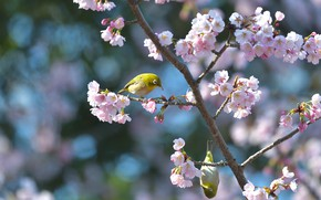 Picture flowers, birds, branches, nature, background, blue, bird, two, spring, pair, birds, bird, a couple, Duo, ...