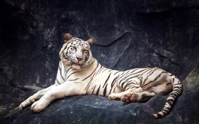 Picture tiger, stones, predator, lies, white tiger, resting, bokeh