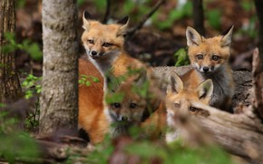 Picture look, nature, Fox, kids, Fox, Fox, cubs, brood