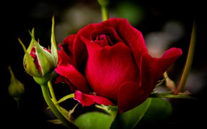 Picture rose, red, buds