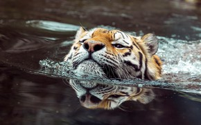 Picture look, face, water, tiger, reflection, bathing, pond, swimming, floats