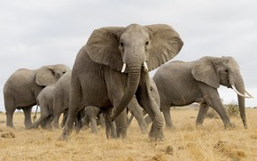 Picture elephant, Africa, the herd
