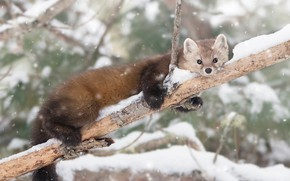 Picture winter, snow, branches, tree, lies, animal, snowfall, marten