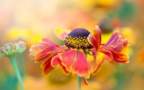 Picture flower, macro, red, bokeh, gaylardiya