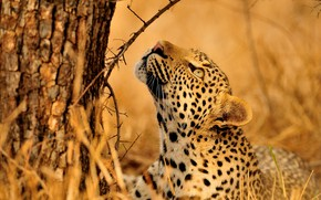 Picture look, face, branches, pose, tree, leopard, lies, bark, wild cat, looking up