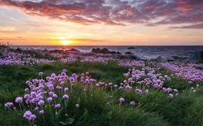 Picture grass, landscape, sunset, flowers, nature, Strait, shore, The Channel, Fort Hommet