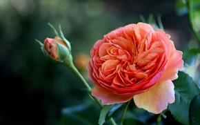 Picture macro, rose, rosebud
