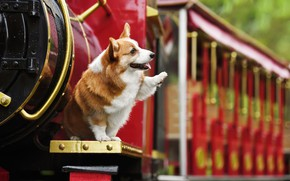 Picture animal, the engine, dog, dog, Corgi