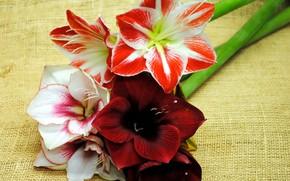 Picture flowers, background, Amarilis