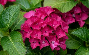 Picture leaves, macro, flowers, hydrangea, inflorescence