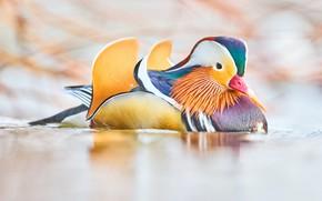 Picture Bird, Beak, Color, Дикая Утка