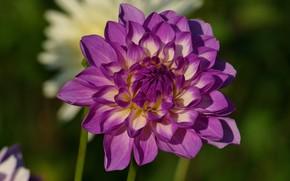 Picture flower, flowers, petals, garden, lilac, Dahlia, green background, dahlias