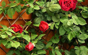 Picture Bush, Leaves, Red, Roses