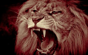 Picture face, predator, Leo, mouth, mane, the king of beasts, fangs, grin, wild cat, monochrome