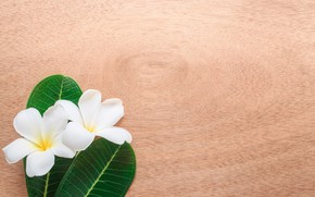 Picture leaves, flowers, background, plumeria