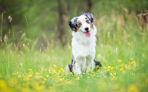 Picture greens, language, summer, grass, look, face, flowers, nature, pose, green, background, glade, portrait, dog, yellow, ...
