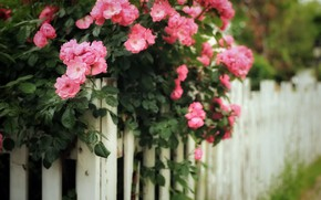 Picture summer, flowers, nature, the fence