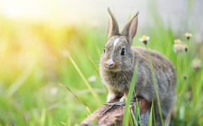 Picture grass, look, flowers, nature, grey, background, hare, chamomile, rabbit, muzzle, bricks, Bunny, rabbit, hare