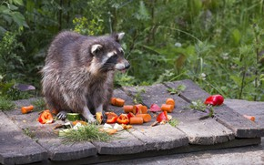 Picture food, raccoon, carrots