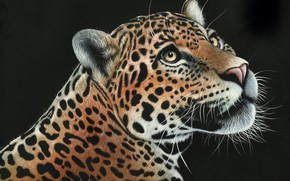 Picture look, face, predator, leopard, black background, wild cat