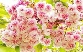 Picture flowers, spring, Sakura, pink