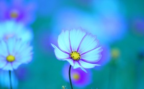 Picture summer, space, flowers, green, background, blue, glade, petals, spot, white, turquoise, bokeh, blurred, kosmeya, two-tone, …
