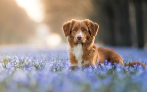 Picture forest, look, face, light, flowers, nature, background, glade, portrait, dog, spring, blue, red, bokeh, Retriever, …