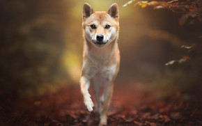 Picture pose, dog, look, Shiba, background, nature, walk, leaves, Shiba inu, autumn