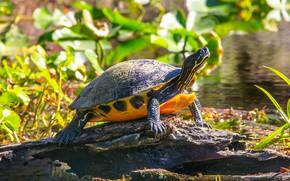 Picture grass, leaves, water, light, lake, pond, turtle, snag, yellow, bug, water, bokeh, water, Berezhok, basking …