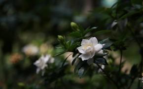 Picture white, flowers, Bush, petals, Bud, Gardenia